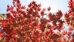 Japanese Maple Trees. Royalty Free Stock Image