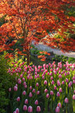 Japanese Maple and Tulips. Japanese maple with bright red leaves and pink tulips in a botanical garden Stock Images