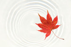 Japanese maple and water ripple background Royalty Free Stock Photos