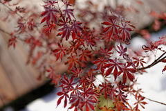 Japanese maple in winter Royalty Free Stock Photo