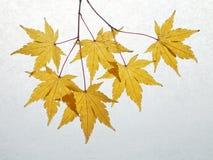 Japanese maple yellow royalty free stock image