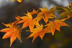 Japanese maple yellow foliage Stock Images