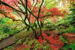Japanese maples Royalty Free Stock Photography