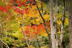 Japanese Maples in Autumn Colour Stock Images