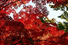 Japanese maples in autumn. Maples in Kyoto Royalty Free Stock Photo