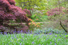 Japanese maples, azaleas and rhododendrons provide a colourful backdrop to bluebells Stock Photos