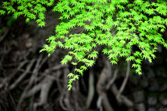 Japanese maples in spring Stock Photo