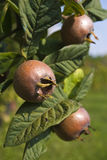 Japanese medlar Royalty Free Stock Image