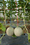 Japanese melon in fruiting stage Stock Image