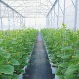Japanese melon in greenhouse on filed Royalty Free Stock Photo