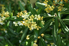 Japanese mock orange, Pittosporum tobira Royalty Free Stock Images