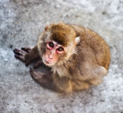 Japanese monkey Royalty Free Stock Photos