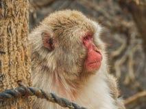 Japanese Monkey at Arashiyama Park. Portrait of a japanese monkey at Arashiama Park in Kyoto, Japan Stock Image