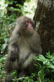 Japanese monkey. Japanese macaque monkey ubiquitous in the Japanese Alps Stock Image
