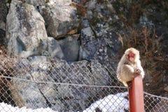 Japanese monkey sitting on the pole Royalty Free Stock Photos