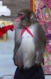Japanese monkey street performers Royalty Free Stock Image