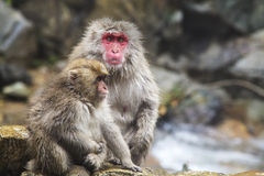 The Japanese monkey which washes a back in a hot spring Royalty Free Stock Image