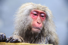 The Japanese monkey which washes a back in a hot spring Royalty Free Stock Images