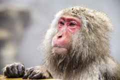 The Japanese monkey which washes a back in a hot spring Royalty Free Stock Photo