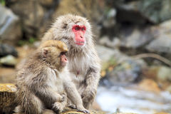 The Japanese monkey which washes a back in a hot spring Stock Photos