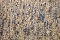 Japanese motif: reed field. Soft focus. Vintage paper background. Effect of watercolor paper. Stock Photos