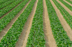Japanese Mustard Spinach Crop at Farm Stock Photo