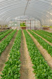 Japanese Mustard Spinach Crop in Greenhouse Stock Images
