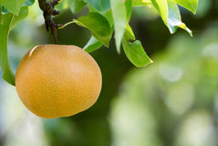 Japanese nashi pear (Pyrus Pyrifolia) Stock Images