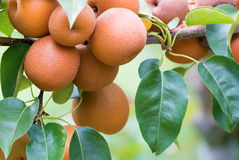 Japanese nashi pears (Pyrus Pyrifolia) Royalty Free Stock Photography