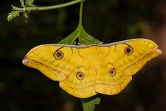 Japanese Oak Silk moth hanging on leaf Royalty Free Stock Photo