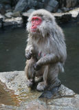 Japanese Onsen Monkey in Nagano Royalty Free Stock Image