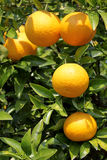 Japanese orange fruit Royalty Free Stock Images