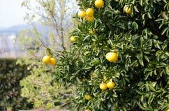 Japanese orange Stock Images