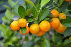 Japanese orange tree stock photo