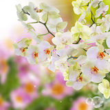Japanese Orchid Royalty Free Stock Images
