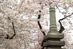 Japanese Pagoda and Spring Cherry Blossoms Stock Photo