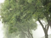 Japanese pagoda trees in fog. Styphnolobium japonicum. Japanese pagoda tree in fog. Soft focus royalty free stock images