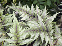 Japanese Painted Fern Royalty Free Stock Image