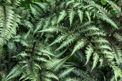 Japanese Painted Fern Stock Photo