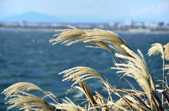 Japanese pampas grass. Stock Photography