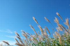 Japanese pampas grass Stock Image
