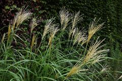 Japanese pampas grass Royalty Free Stock Photos