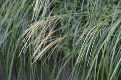 Japanese pampas grass Royalty Free Stock Image