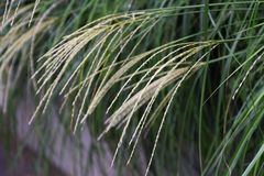 Japanese pampas grass Stock Images
