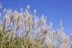 Japanese pampas grass Stock Photography