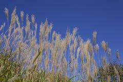 Japanese pampas grass Royalty Free Stock Photo