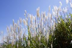 Japanese pampas grass Stock Photos