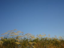 Japanese pampas grass with clear blue sky of autumn Stock Image