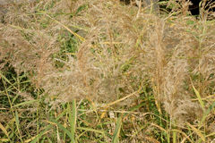 Japanese pampas grass field Royalty Free Stock Photo