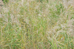 Japanese pampas grass field Royalty Free Stock Images